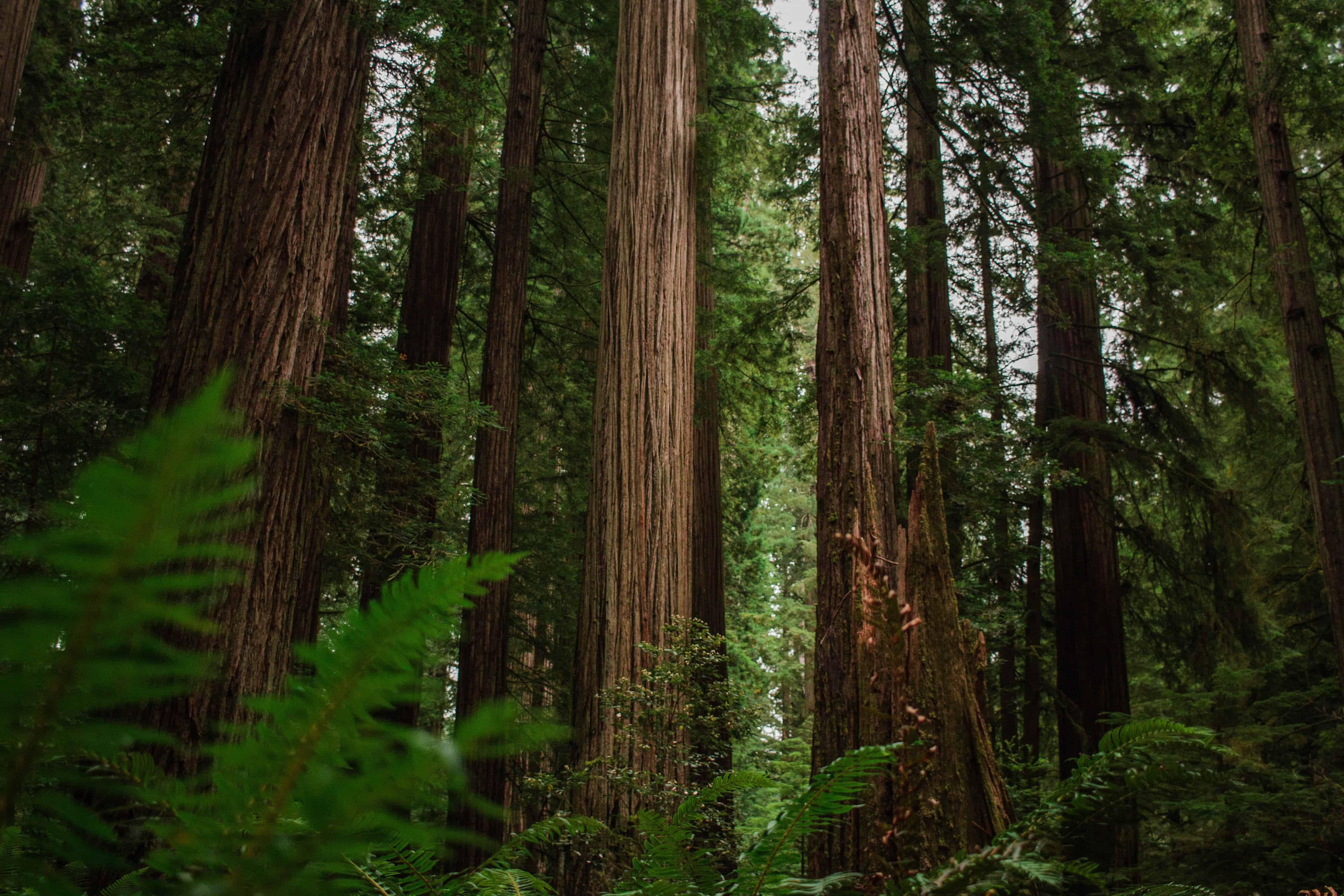 Redwood - Jedediah Smith Campground