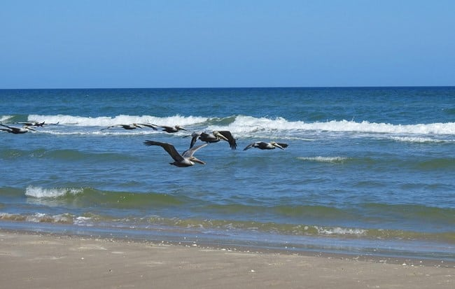 Padre Island National Seashore - https://www.nps.gov/pais/planyourvisit/images/pelicans.jpg?maxwidth=650&autorotate=false